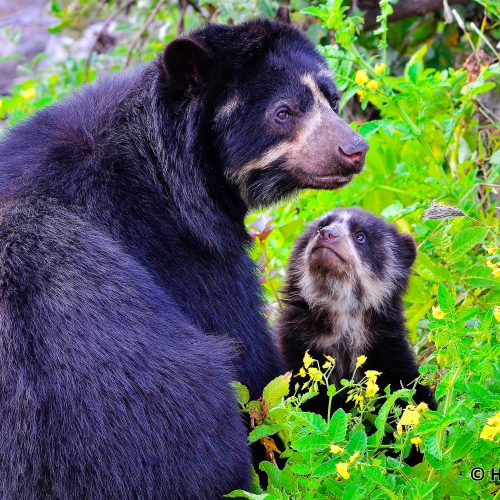Spectacled bears in the Cordillera Azul project. Photo © Heinz Plenge.