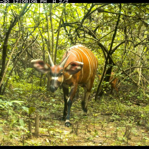 A bongo on the Gola Rainforest camera trap.