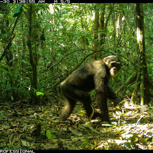 A chimpanzee caught on the Gola Rainforest camera trap.