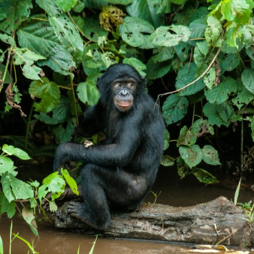 A critically endangered bonobo monkey sits on a log in the Isangi project, Democratic Republic of the Congo.