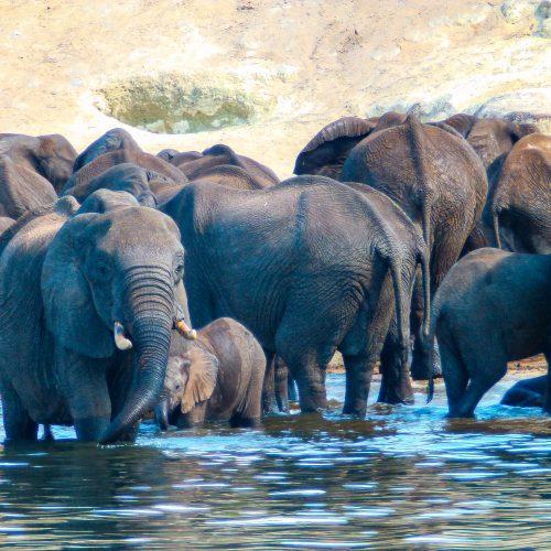 A herd of elephants in the water in the Kariba Wildlife Corridor project.