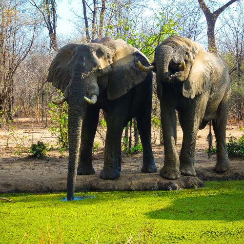 Elephants in dryland forest in the Kariba Wildlife Corridor.
