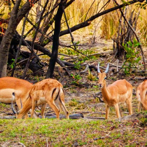 Thompson's gazelles in the Kariba Wildlife Corridor, Zimbabwe.