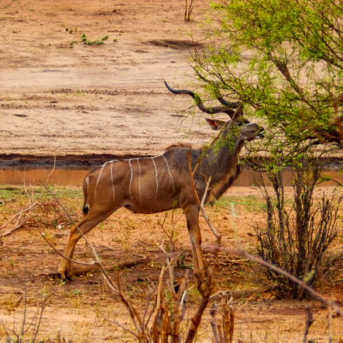 A kudu snacking in the Kariba Wildlife Corridor.