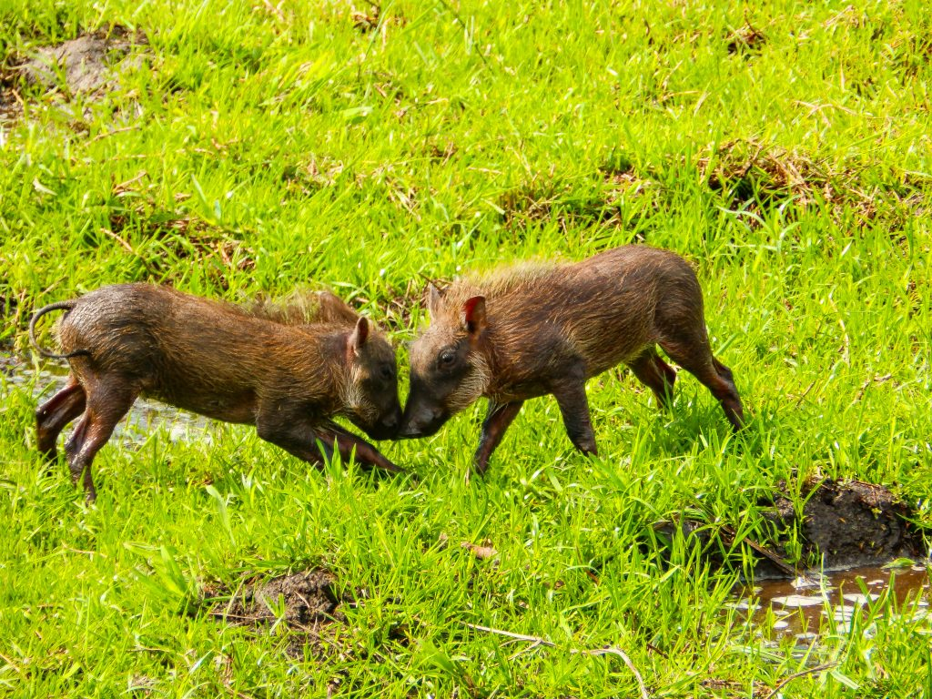 Warthogs playing in the Kariba Wildlife Corridor project.