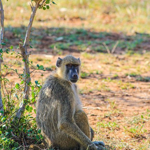 A baboon sits on the grass in the Kasigau Wildlife Corridor project.