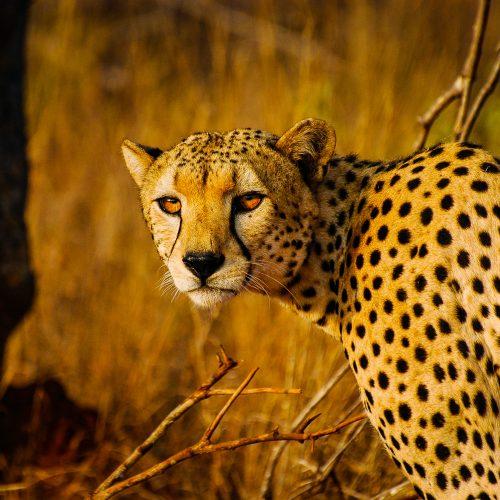 A cheetah in the Kasigau Wildlife Corridor project, Kenya.