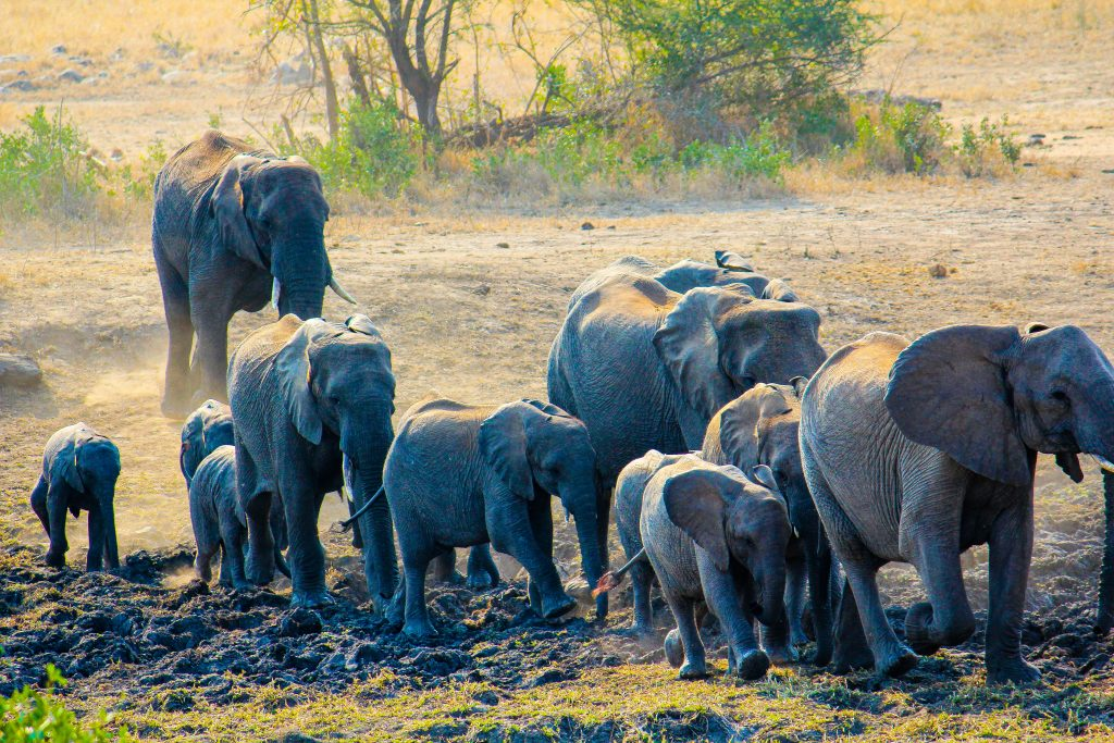 A herd of elephants on the move in the Kasigau Wildlife Corridor.