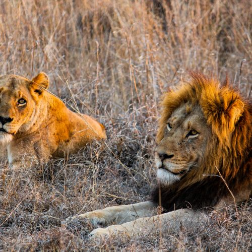 A pair of lions sunbathing in the Kasigau Wildlife Corridor.