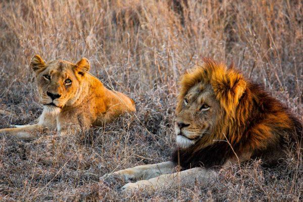 A pair of lions sunbathing in the Kasigau Wildlife Corridor.