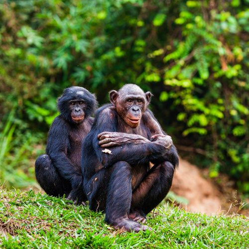 A pair of critically endangered bonobo chimpanzees in the Mai Ndombe project, Democratic Republic of the Congo.