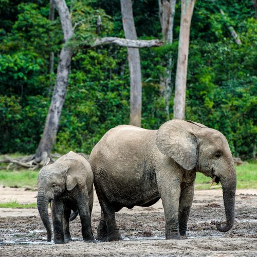 Mai Ndombe, in the Congo Basin Rainforest, protects species like these critically endangered forest elephants.