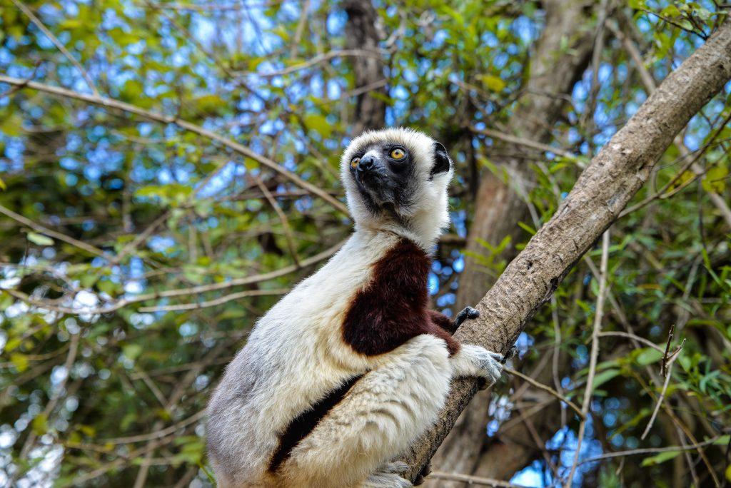 A lemur in the Makira rainforest, Madagascar.