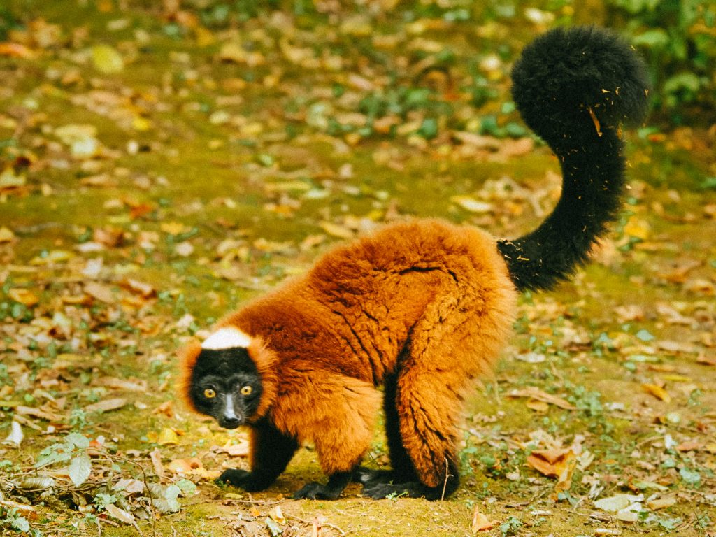 A critically endangered red ruffed lemur in the Makira project, Madagascar. Photo © Hans Hillewaert.