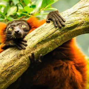 A red ruffed lemur hangs on a branch, Makira, Madagascar.