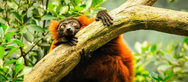 A red ruffed lemur hangs on a branch, Makira, Madagascar.