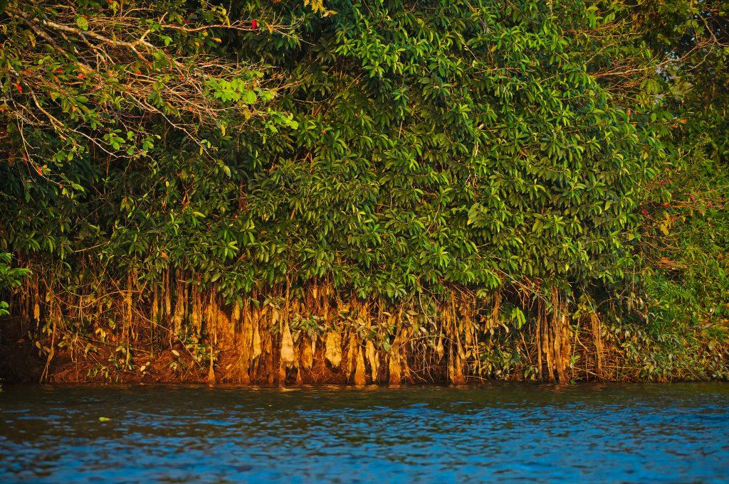 Mangroves in the Rimba Raya project
