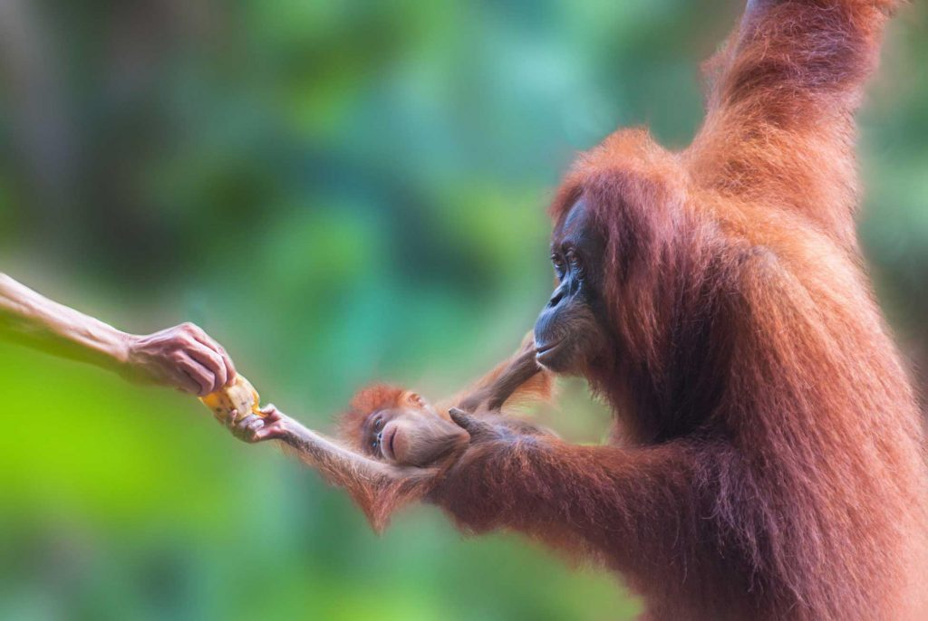 A mother and baby orangutan in the Rimba Raya project.
