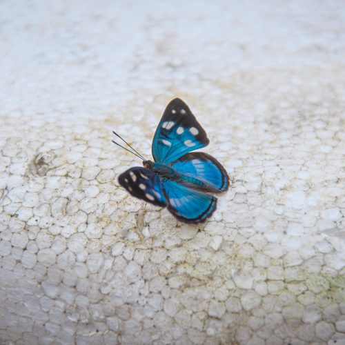 A blue butterfly in the Amazon Valparaiso project, Brazil.