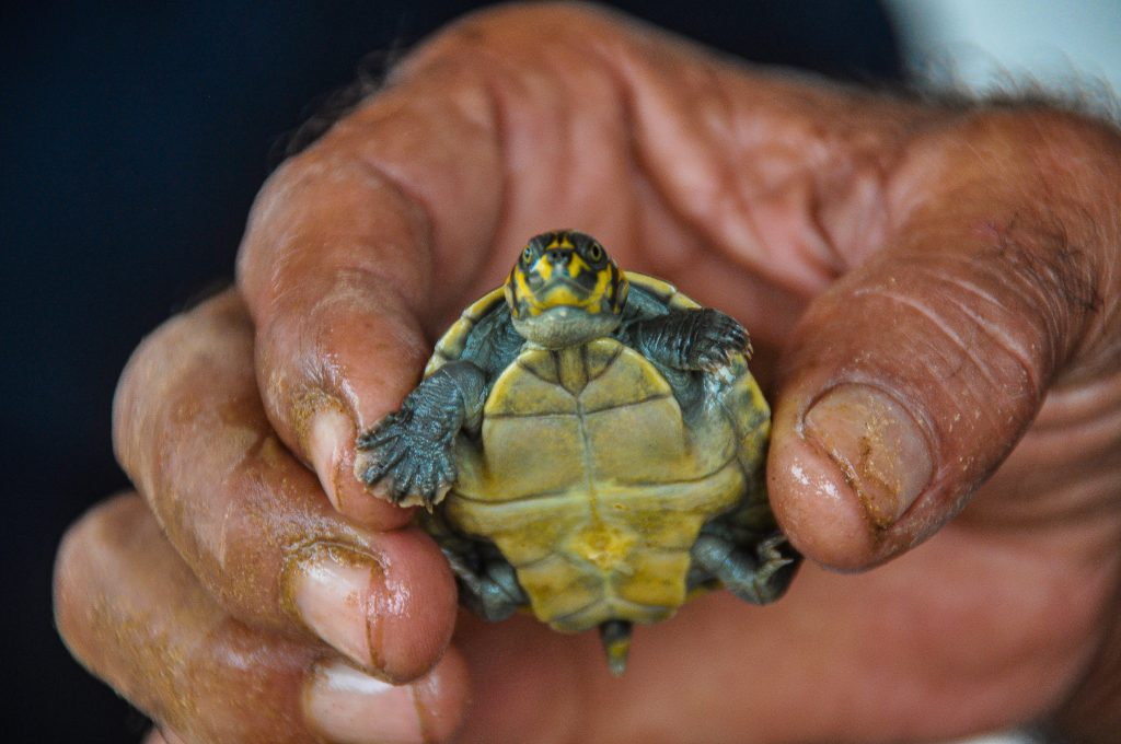 A baby turtle from the Valparaiso project, Brazil.