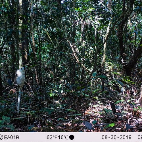 A white saddleback tamarin climbing a tree in the Amazon Valparaiso project, caught on wildlife camera.