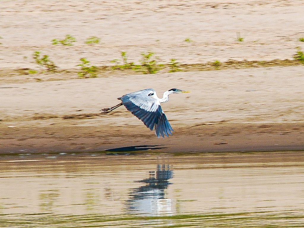 A heron flies over a riverbank in the Envira Amazonia project.