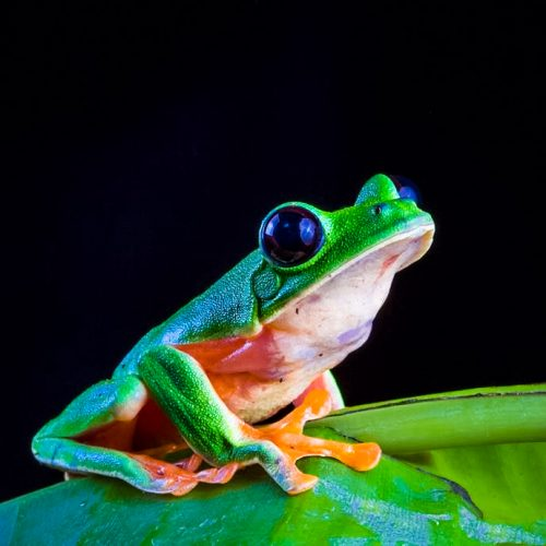 A frog in the Guatemala Conservation Coast project.