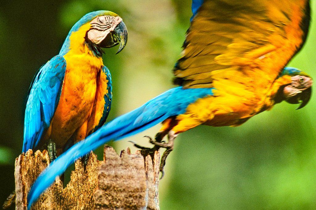 Blue-and-yellow macaws, Ara ararauna, on palm tree, Tambopata National Reserve, Peru