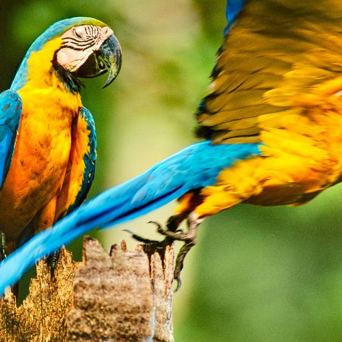 Blue-and-yellow macaws, Ara ararauna, on palm tree, Tambopata National Reserve, Peru