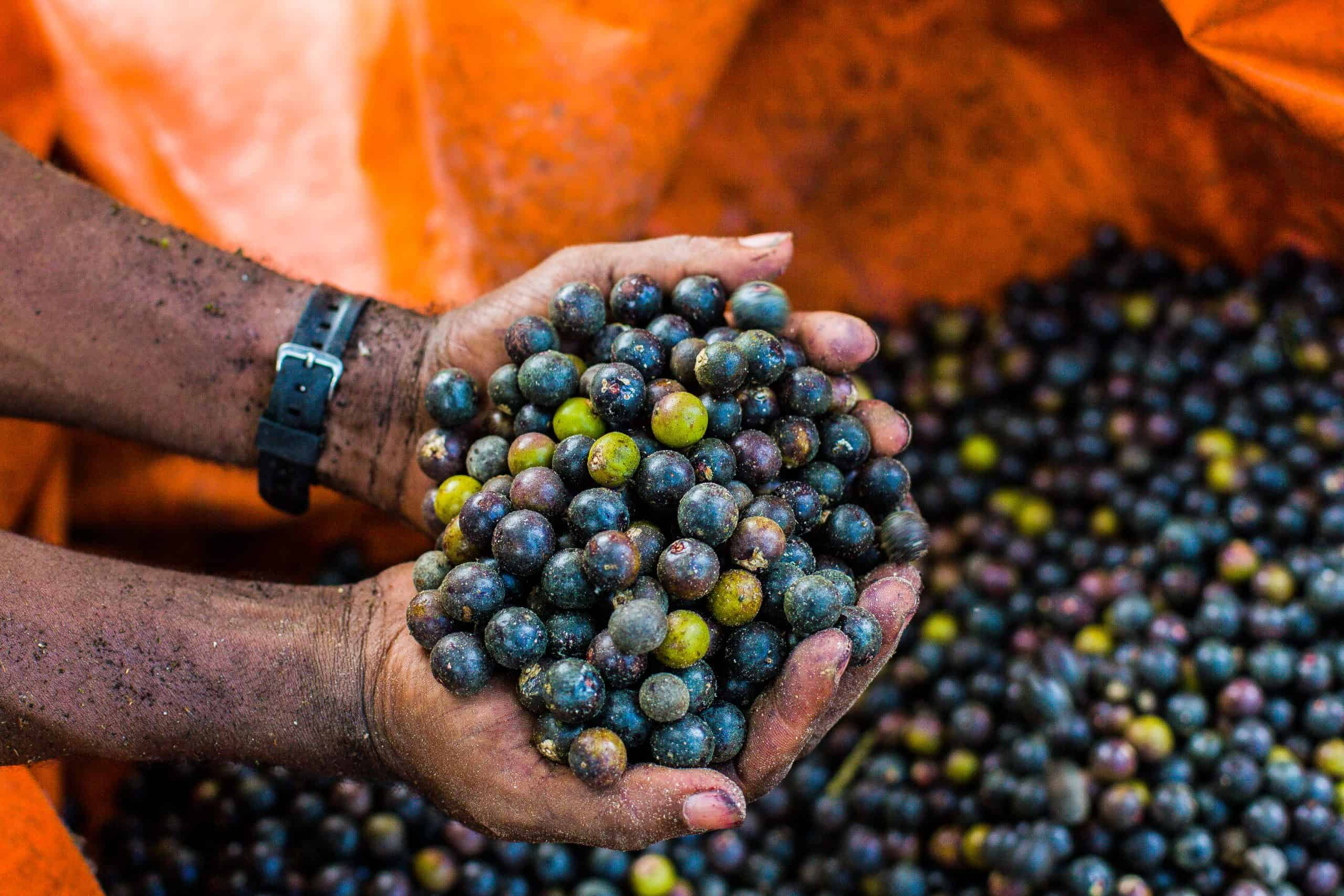 A farmer holding acai berries in one of the Pacific Forest Communities projects along the Colombian Pacific coast.