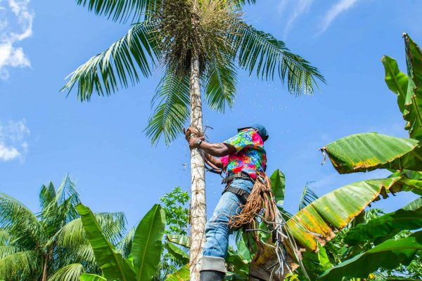 A man climbs a tree in one of the Pacific Forest Communities projects, Colombia.