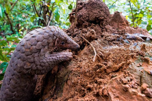 A pangolin in the Southern Cardamom project, Cambodia, which protects habitat for this critically endangered species.