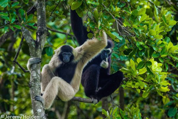 Endangnered pleated gibbons in the Southern Cardamom project, Cambodia.