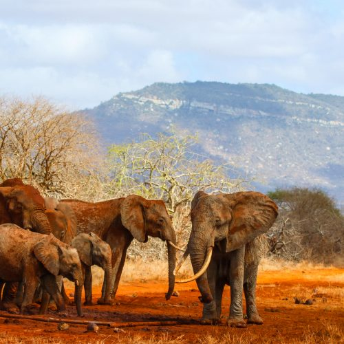 A family of elephants moving through the Kasigau Wildlife Corridor between Tsavo East and Tsavo West National Parks, Kenya.