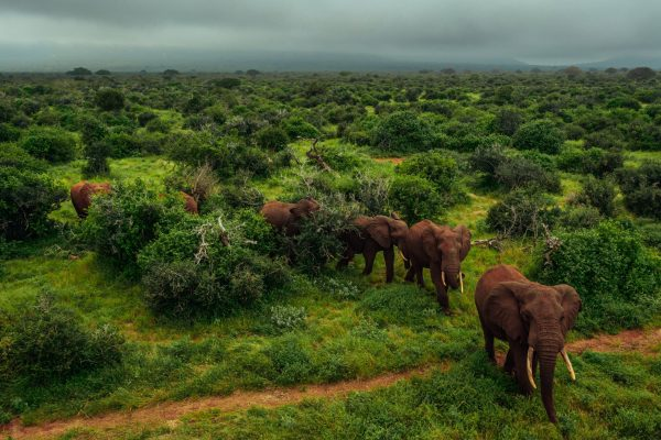 An elephant herd crossing the plains in the Kasigau project, Kenya. Photo credit: Filip C. Agoo for Wildlife Works Carbon.