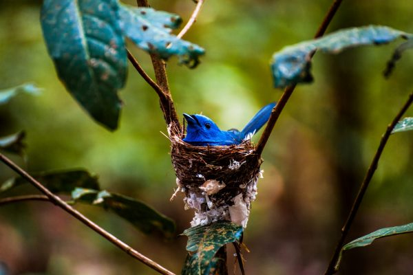 A baby black-naped monarch bird in a nest in the Keo Seima Wildlife Sanctuary project, Cambodia.