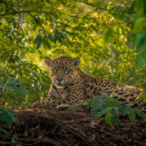 A jaguar resting in the jungle.