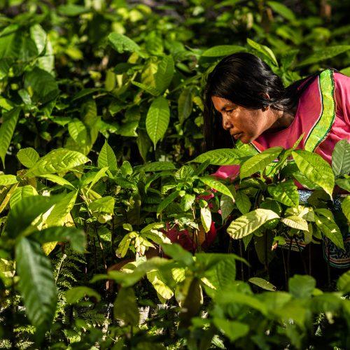 Woman farmer tending crops in the Nii Kaniti project, Peru