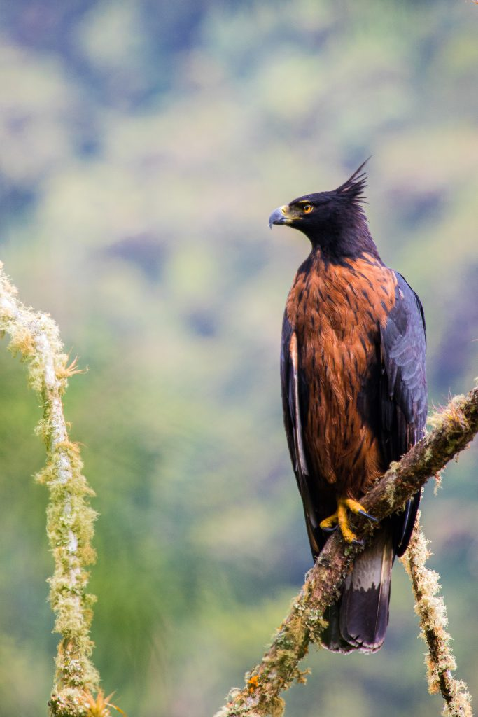 The Pacific Forest Communities project is home to endangered birds like this spectacular black-and-chestnut eagle. Photo credit: Daniel Mideros.