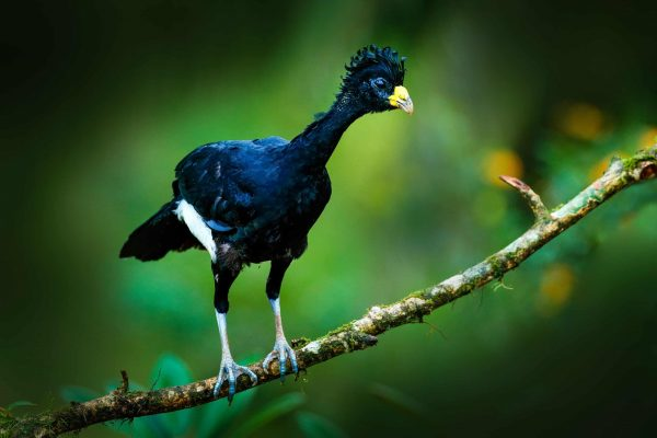 A great curassow, one of many special and endangered birds protected by the Pacific Forest Communities project in Colombia.