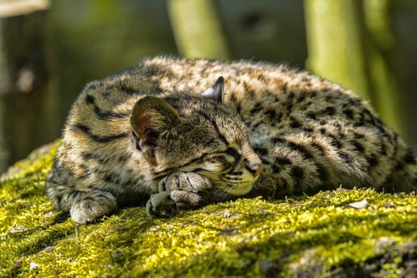 The Pacific Forest Communities project protects endangered species like the oncilla cat.