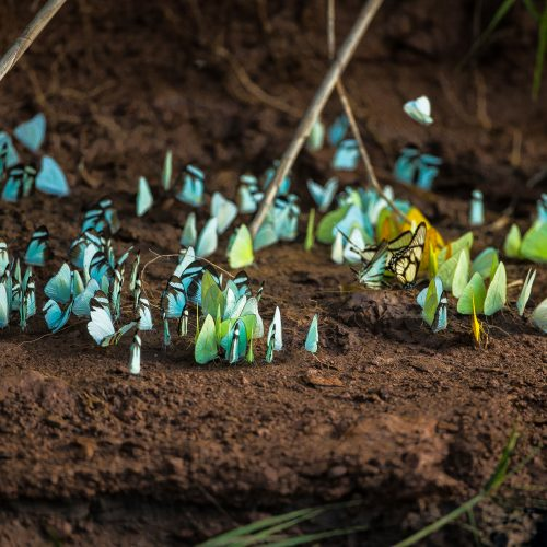 A rainbow of butterlies flutter along the soil in the Tambopata project, Peru.