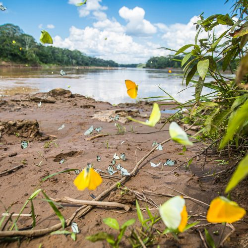 Butterflies aong a riverbank in the Tambopata project, Peru.
