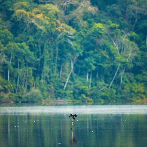 A cormorant takes flight in the Tambopata project, Peru.